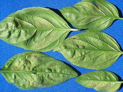 basil-dm-leaves-under-08_62